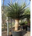 Dračinec obrovský - Dračí strom - Draceana draco - prodej semen 4 ks