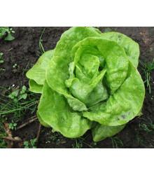 Salát hlávkový k rychlení - Lactuca sativa - semena - 300 ks