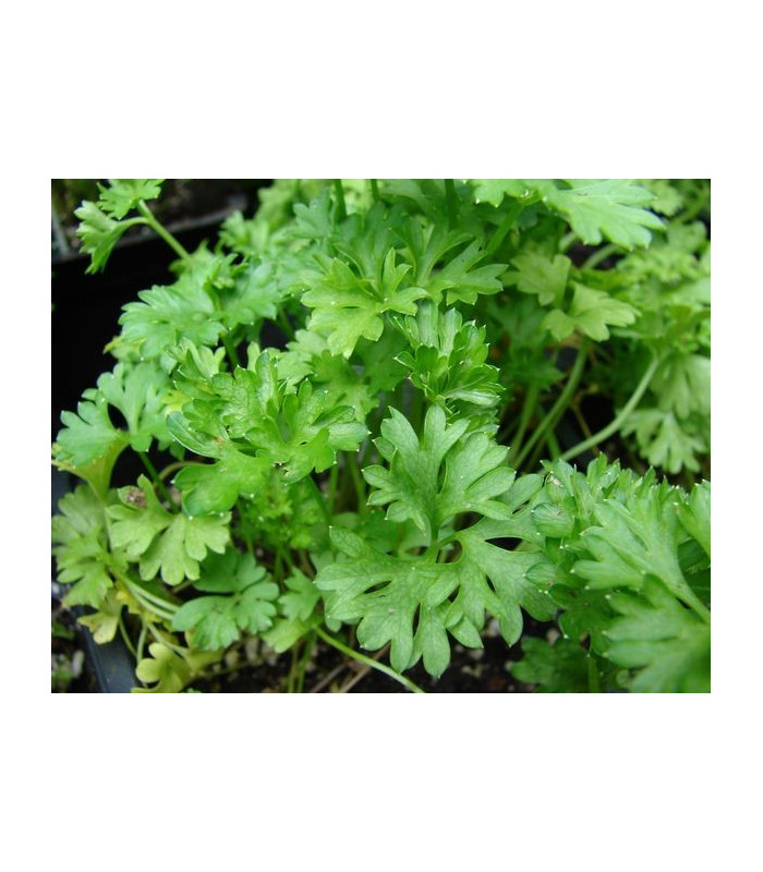 Petržel naťová (kadeřavá)- Petroselinum crispum convar- semena Petržele- 1300 ks