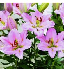 Lilie nízká Malý John - Lilium - cibuloviny - 1 ks