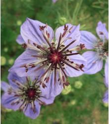 Černucha španělská - Nigella hispanica - semena - 80 ks