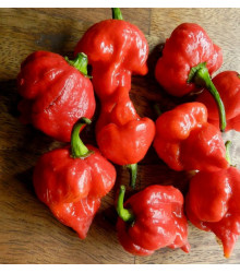 Chilli Trinidad Scorpion Butch - Capsicum chinense - semena - 5 ks