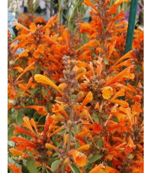 Agastache Apricot - Agastache aurantiaca - semena - 20 Ks
