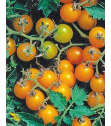 Divoké rajče žluté - Lycopersicon pimpinellifolium - semena - 6 ks