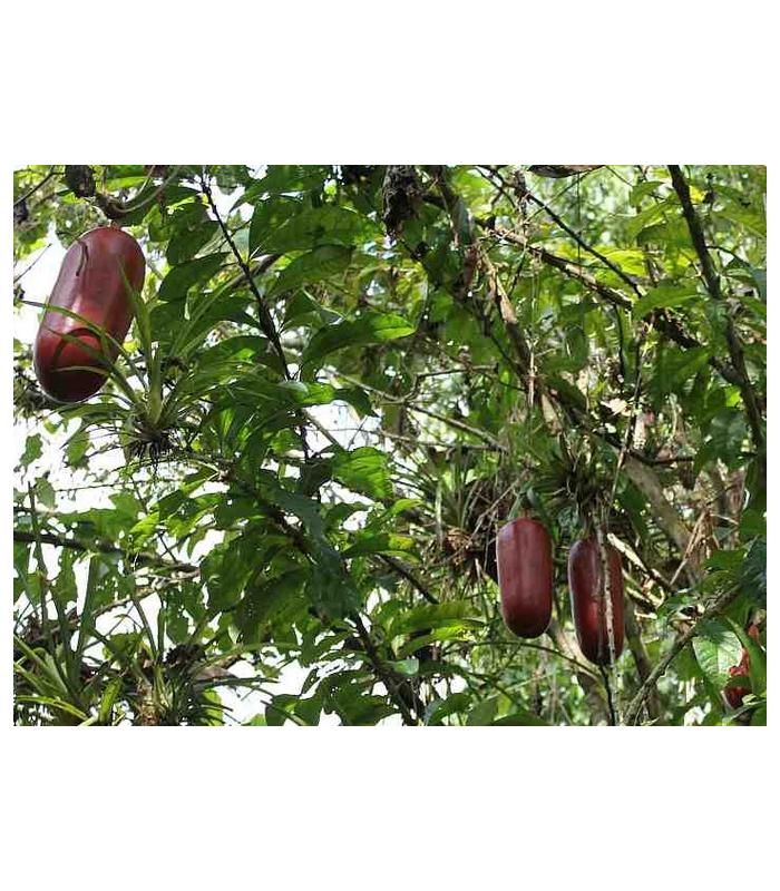 Muškátová okurka - Sicana odorifera - semena- 6 ks