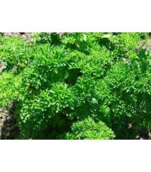 Petržel Clivi - Petroselinum crispum - semena petržele - 0,7 g