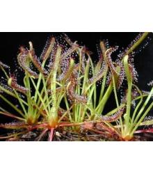 Rosnatka kapská směs - Drosera Capensis - semena - 15 ks