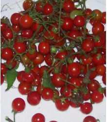 Divoké rajče červené - Lycopersicon pimpinellifolium - semena - 6 ks