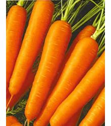 Mrkev raná Gonsenheimer Treib - Daucus carota - semena - 1 gr