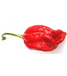Chilli Naga viper – Capsicum chinense – semena chilli – 6 ks