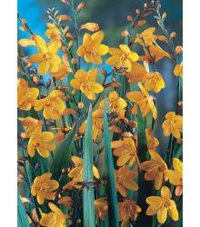 montbrécie George Davison - Crocosmia × crocosmiiflora George Davison