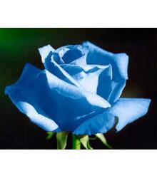 Růže popínavá světle modrá - Rosa - semena - 5 ks