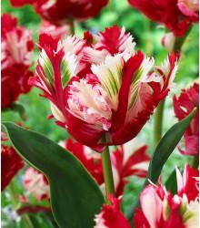 Tulipán Estella Rijnveld - Tulipa - cibuloviny - 3 ks