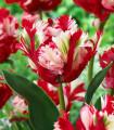 Tulipán Estella Rijnveld - cibuloviny - 3 ks