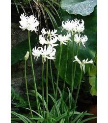 Nerine bílá - Nerine alba - cibuloviny - 1 ks