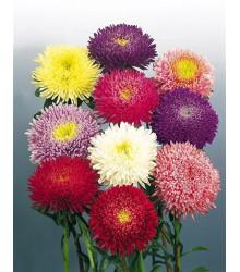 Astra čínská Princezna směs barev - Callistephus chinensis - semena - 1 g