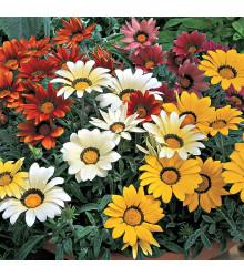 Gazánie zářivá směs barev - Gazania splendes - semena - 50 ks