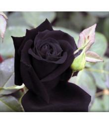 Růže černá Maroon -Rosa - semena - 5 ks