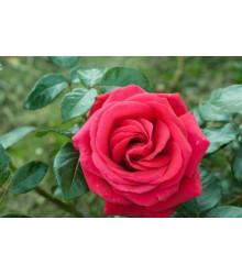 Růže popínavá červená - Rosa - semena - 5 ks