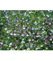 Lobelka drobná směs - Lobelia erinus - semena - 1000 ks