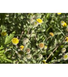 Blešník obecný - Pulicaria vulgaris - semena - 50 ks