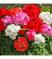 Muškát zahradní Cabaret F2 - Pelargonium hortorum - semena - 6 ks