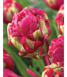 Tulipán Negrita double - okrasné cibuloviny - 3 Ks