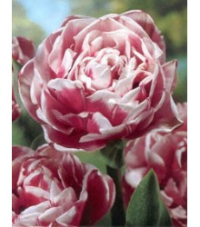 Tulipán Wirosa - Tulipa - cibuloviny - 3 ks
