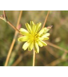 Locika kompasová - Lactuca serriola - semena - 10 ks