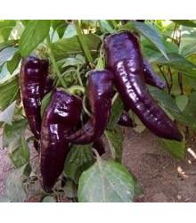Paprika Marconi Purple - Capsicum annuum - semena - 10 Ks