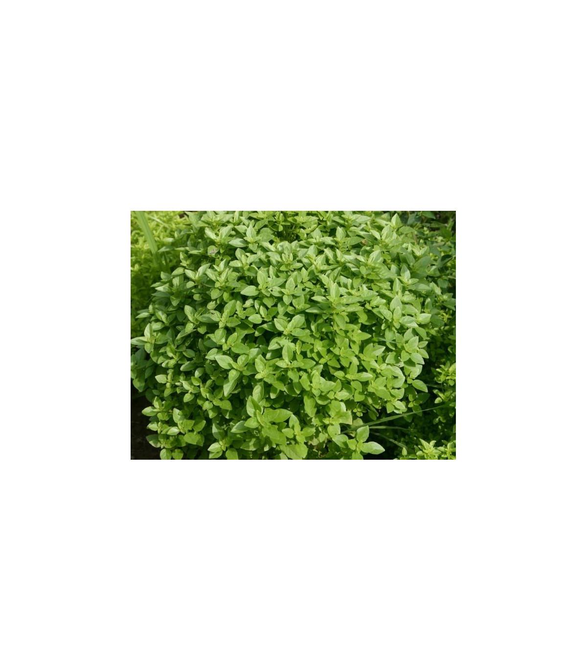 Bazalka Fino verde - Ocymum basilicum - semena - 50 ks