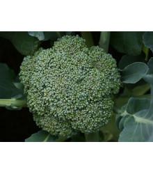 Brokolice Leonora - Brassica oleracea - semena - 100 ks