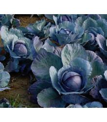 BIO Červené zelí Marner - Brassica oleracea - bio semena - 0,3 gr