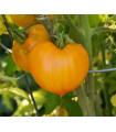 Rajče - oranžová jahoda - Lycopersicon lycopersicum - semena - 6 ks