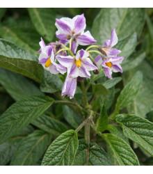 Pepino gold - Solanum muricatum - semena - 5 ks