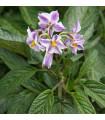 Pepíno- Solanum muricatum- semena- 5 ks