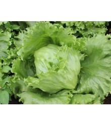 Salát ledový Saladin - Lactuca sativa - semena - 0,2 g