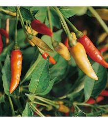 More about Chilli Tabasco - Capsicum frutescens - semena - 7 ks