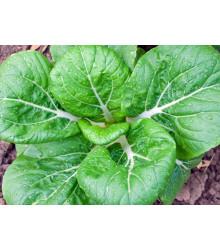 Pak Choi Zlatý lev - Brassica chinensis - semena - 0,2 g