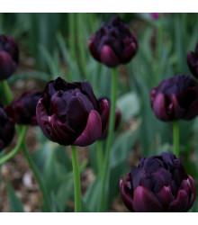 Tulipán Black Hero - Tulipa - cibuloviny - 3 ks