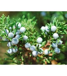 Jalovec osteosperma - Juniperus osteosperma - semena - 5 ks