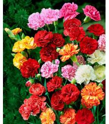 Hvozdík Karafiát - Mix barev - Dianthus caryophyllus - semena Hvozdíku - 130 ks