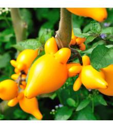 Solanum mammosum - Solanum mammosum - semena - 5 ks