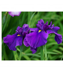 Kosatec japonský - Iris ensata - semena - 5 ks