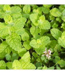 More about Máta jablečná - Mentha rotundifolia - semena - 25 ks