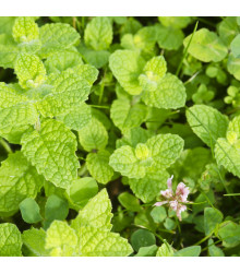 Máta jablečná - Mentha rotundifolia - semena - 25 ks