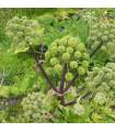 Andělika lékařská - Archangelica officinalis - semena - 1 g