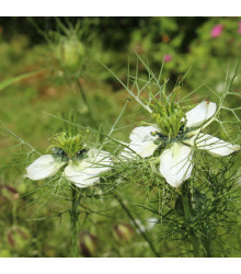 Černucha setá - Kmín černý - Nigella sativa - semena - 25 ks