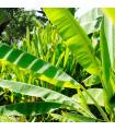 Banánovník Cheesmanii - Musa cheesmanii - semena - 3 ks