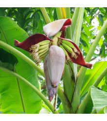 Banánovník Sikkism - Musa sikkimensis - semena - 3 ks